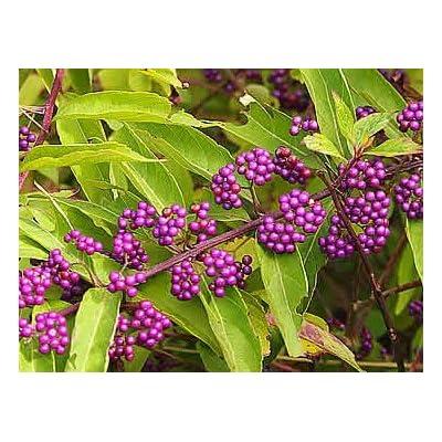 Profusion Purple Beautyberry - Live Plant - 2 Gallon Pot : Garden & Outdoor