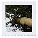 3dRose Mike Swindle Photography - Animals - Elk eating grass - 18x18 inch quilt square (qs_280210_7)
