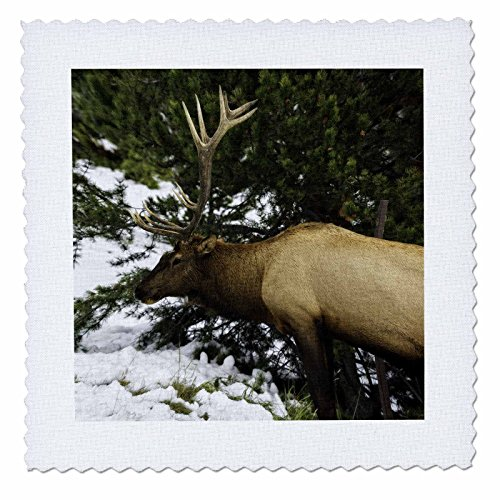 3dRose Mike Swindle Photography - Animals - Elk eating grass - 18x18 inch quilt square (qs_280210_7) by 3dRose