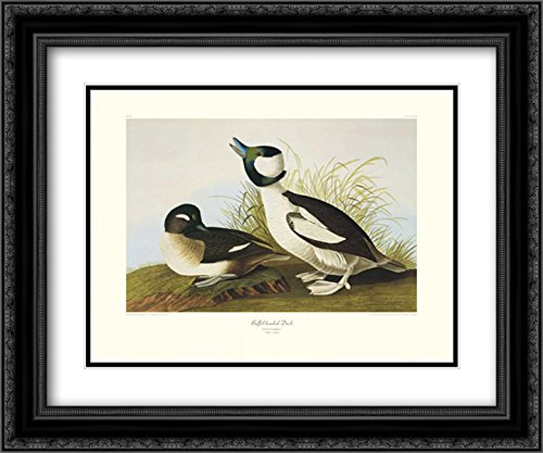 Buffel-Headed Duck (decorative border) 2x Matted 24x20 Black Ornate Framed Art Print by Audubon, John (Black Headed Duck)