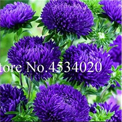 Kasuki 100 pcs Chinese Aster Bonsai (Callistephus) give You a Garden Full of Bright Summer Big Flowers Orginal Package - (Color: 4): Garden & Outdoor