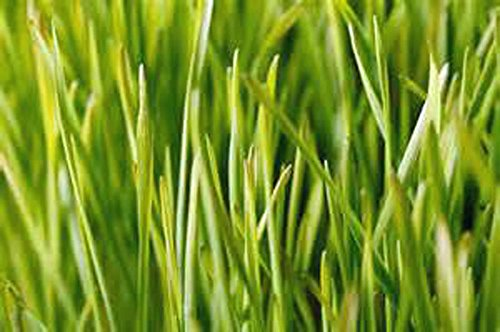 Wheatgrass, Microgreen, Sprouting, 10 OZ, Organic Seed, NON GMO - Country Creek LLC Brand - High Sprout Germination- Edible Seeds, Gardening, Hydroponics, Growing Salad Sprouts