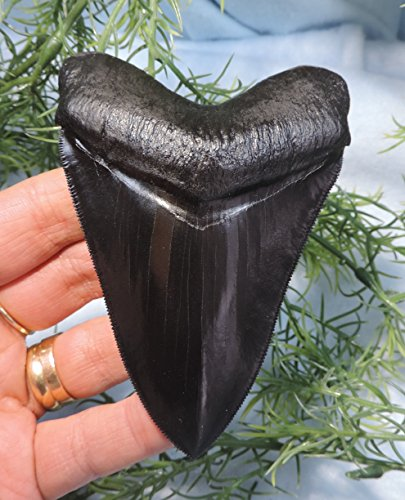 Super Serrated 4 Long Megalodon Tooth (Megalodon Fossil Shark Tooth)