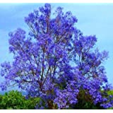 "Blue Jacaranda Tree Potted Plant, 6-12"" Tall"