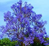 "Blue Jacaranda Tree Potted Plant,Starter Potted Plant 2-4"" Tall"