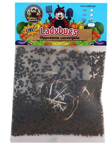 1500 Live Ladybugs - Good Bugs - Ladybugs - Guaranteed Live Delivery! by Bug Sales