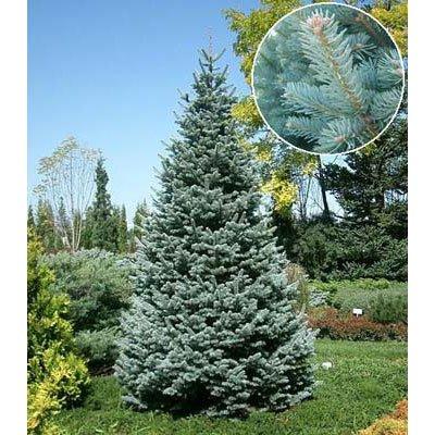 アルプスモミ:アリゾニカ コンパクタ7号ポット樹高25cm[コニファー 花木の苗木庭木] ノーブランド品 B017H781YA