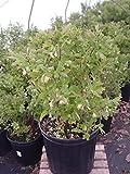 Lonicera caerulea 'Blue Belle' (Honeyberry) Edible-Shrub, #2 - Size Container