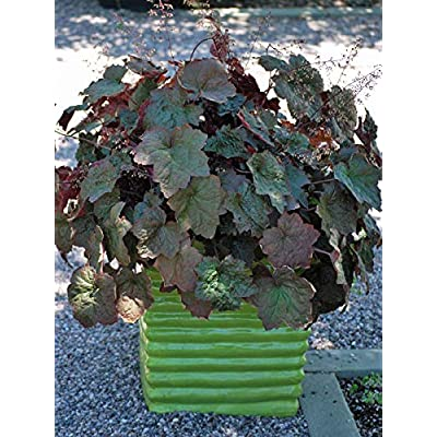 Perennial Farm Marketplace Heuchera m. 'Palace Purple' (Coral Bells) Perennial, 1 Quart, Purplish Bronze Foliage: Garden & Outdoor