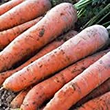 Search : Carrot Scarlet Nantes Non GMO Heirloom Sweet Crunchy Vegetable 100 Seeds by Sow No GMO®