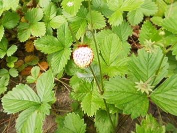 Wilderdbeere Fragaria vesca White Soul 100 Samen Weiße Erdbeere