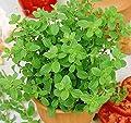 ASTONISH Seeds: Seeds Marjoram (Origanum ana) Organically Grown Russian Heirloom