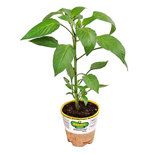 Bonnie Plants 2500 Jalapeno Vegetable product image