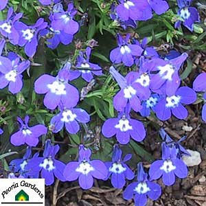 Amazon 50 Trailing Blue Lobelia Regatta Perennial Flower