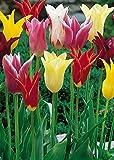 """100 Stück Lilienblütige Tulpen""""Mischung"""" (Zwiebelgröße 12/+cm) - KOSTENFREIE LIEFERUNG!"""