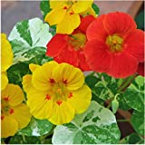 Package of 110 Seeds, Double Gleam Nasturtium Seeds (Tropaeolum majus)