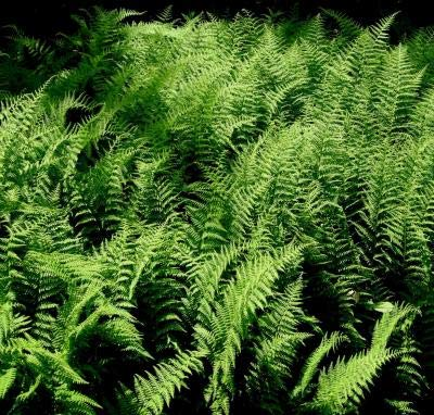 Classy Groundcovers - Dennstaedtia punctilobula {10 Bare Root Plants} by Classy Groundcovers (Image #9)