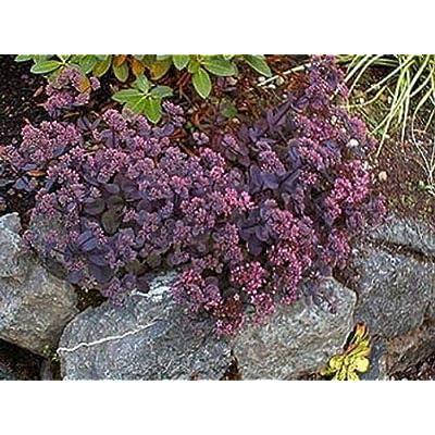 AchmadAnam - Live Plant - 5 Sedum Vera Jameson - Ground Cover - Stonecrop - Succulent : Garden & Outdoor