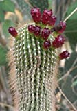 Neobuxbaumia polylopha HARDY TREE CACTI Seeds!