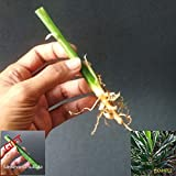 Seeds: Seeds Alpinia Aolineata Vittata Variegated Seed