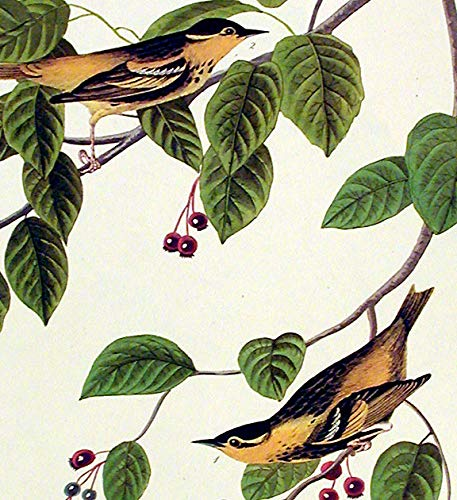 Carbonated Warbler.