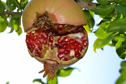 5 Fresh cuttings Pomegranate Tree Punica granatum en satin rose - - Portugal Number Tracking