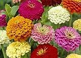 Flower Seeds - Zinnia - California Giant Mix - Best Cut Flowers - Liliana's Garden