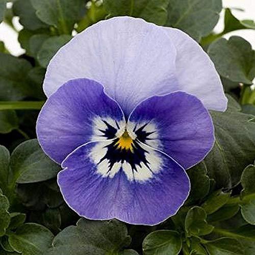 PLAT FIRM SEMILLAS SEMILLAS SEMILLAS DE GERMINACION  Viola Sorbet Marina Annual Seeds eef88c