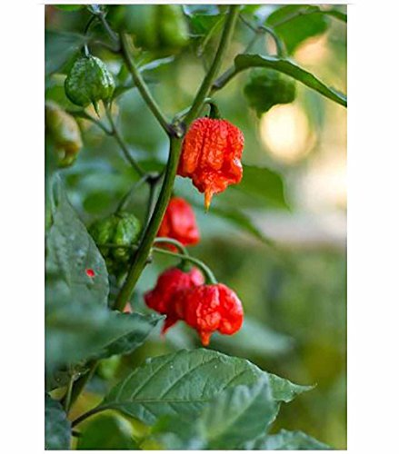 Chili Pepper Chili Pepper 100 pcs/bag ghost pepper ,Carolina Reaper chili Pepper Seeds - Super Hot seeds vegetables home garend plant pot