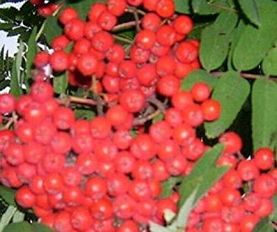 American Mountain Ash Tree Seedling Fruit Berry Ornamental Live Plant Be003