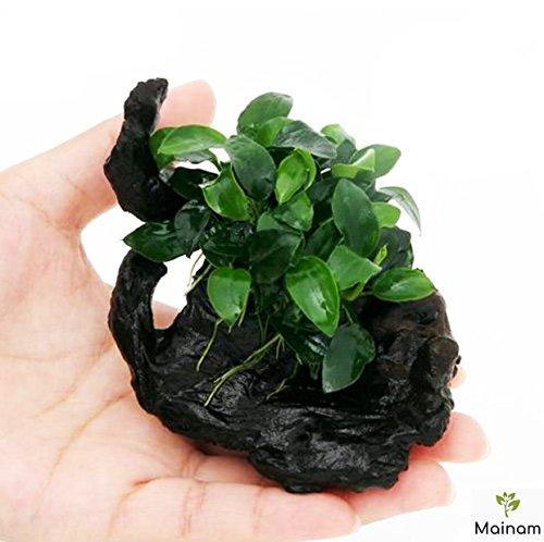 Mainam (1 Pack) Anubias Nana Petite on Nano Driftwood Freshwater Live Aquarium Plants Decorations