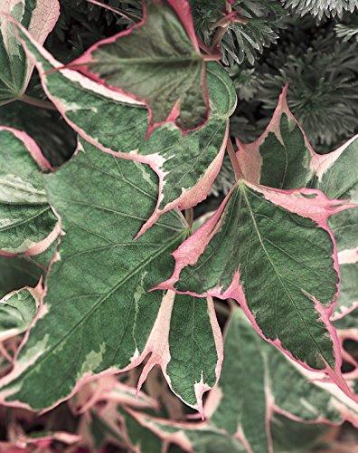 Proven Selections Tricolor Sweet Potato Vine (Ipomoea) Live Plant, Multicolored, 4.25 in. Grande, 4-pack