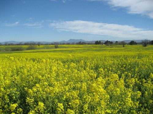 3000 SOUTHERN GIANT CURLED MUSTARD (Ostrich Plume) Brassica Juncea Vegetable Seeds ()