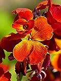 ANVIN Seeds Package: WallFlower Cheiranthus - Erysimum Cheiri King