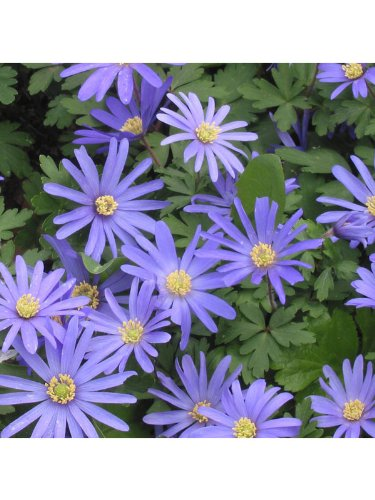 Anemone Blanda 'Blue' - 75 bulbs per pack Garthwaite Nurseries®