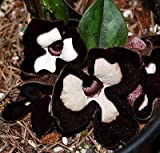 "'Panda Face Ling Ling' Ginger - Asarum splendens - Wildflower - 4"" Pot"