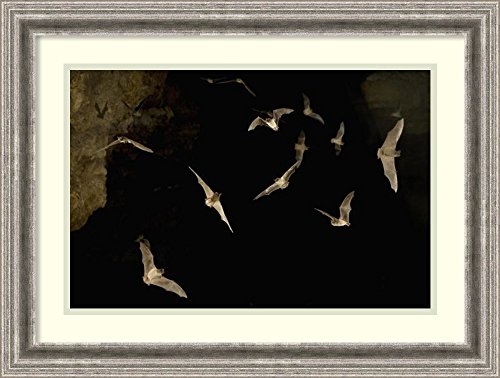 Framed Art Print Brazilian Free Tailed Bat Group Emerging From James Eckert River Bat Cave At Dusk  Texas By Michael Durham