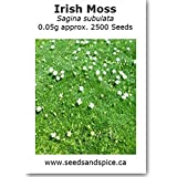 Irish Moss (Sagina subulata) 2500 Seeds