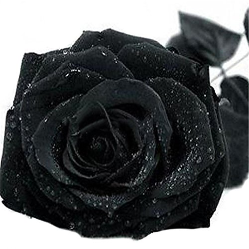 super1798 20 Pcs Rare Colorful Rose Flower Seeds DIY Home Garden Plant - Black