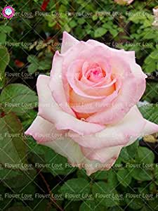 100PCS Rose china Semillas Semillas Bonsai Flor Negro Rose Así Encanto rara planta perenne Flores Para el hogar jardín Enviar regalo 18