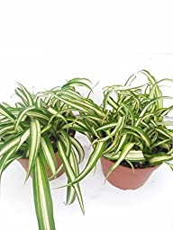 *Two Ocean Spider Plant Easy to Grow Cleans the Air NEW 4\