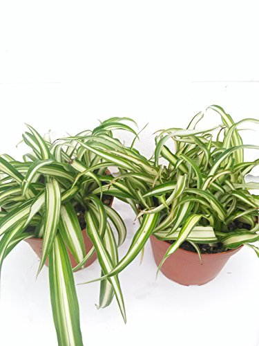 *Two Ocean Spider Plant Easy to Grow Cleans the Air NEW 4