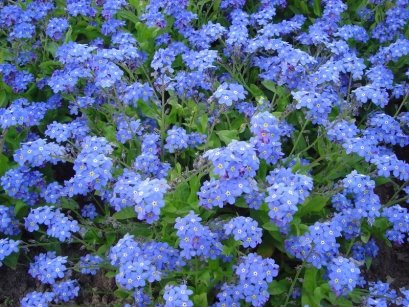 Forget Me Not Seed Packets - 7