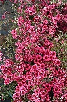 - Leptospermum scoparium Winter Cheer - Manuka, Tea Tree - 3 Plants in 9cm Pots