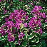 Outsidepride Money Plant Violet - 1000 Seeds