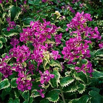 Outsidepride Money Plant Violet - 1000 ()