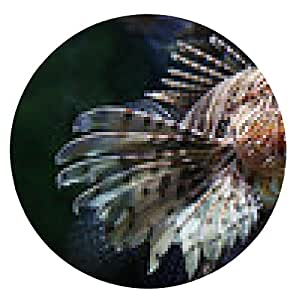 alfombrilla de ratón Vista de primer plano de un pez león común (millas del Pterois) - ronda - 20cm