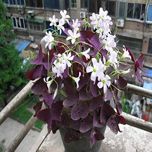 Purple Oxalis Bulbs(10 Bulbs) Hot Sale Lush Cute Lucky Clover Bonsai Decorate Garden