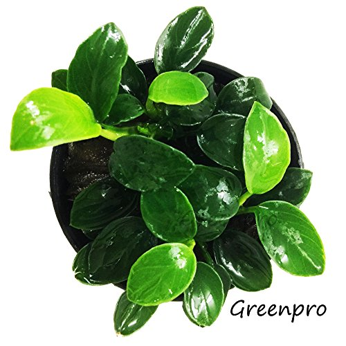 Greenpro Anubias Nana Petite Live Aquarium Plants Fish Tank Decorations...