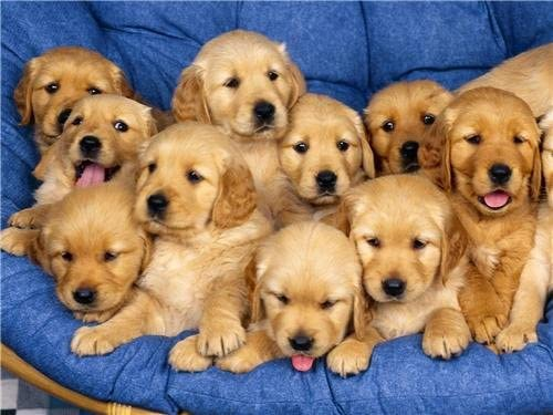 Amazon Com Golden Retriever Puppies Glossy Poster Picture Photo Dogs Puppy Labrador Prints Posters Prints